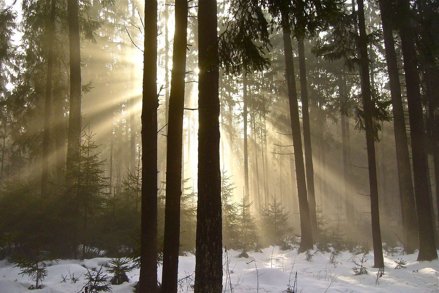 Solen skiner mellan träd i skog